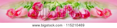 Horizontal panorama with pink  tulips on pink background.