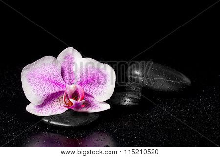 Pink orchid with zen stones and water drops on a black background