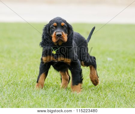 Gordon Setter puppy looking scared