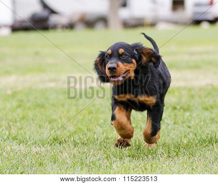 Happy Gordon Setter puppy