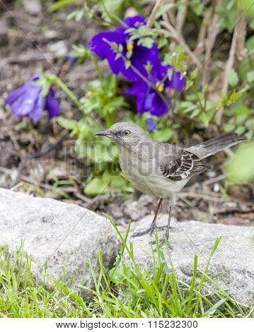 Mockingbird Perched On Belgian Block