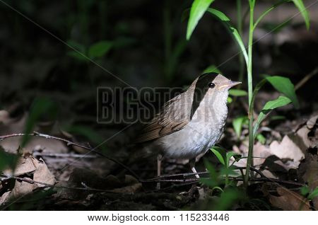 Nightingale In Dark Forest