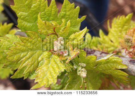 vineyard close up