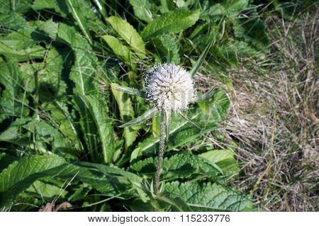 Cutleaf Teasel Flower