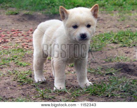 Cachorro de Dingo
