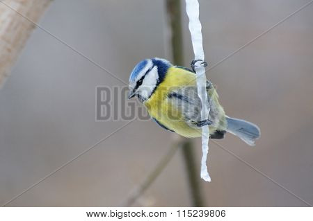 Blue Tit On Maple Sap Icicle
