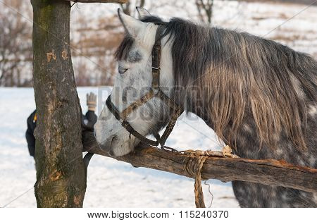 Dappled mare at open stall at winter season