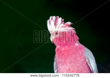 Face Of Pink Gray Cockatoo Bird