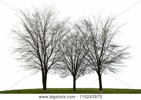 Three Naked Tree On White Background
