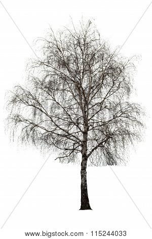 Naked Birch Tree On White