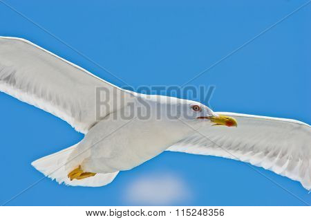 Closeup of a seagull flying over Aegean sea near mountain Athos