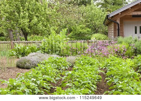 Summer vegetable garden with potato rosemary lavender