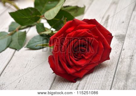 Rose for Valentines
