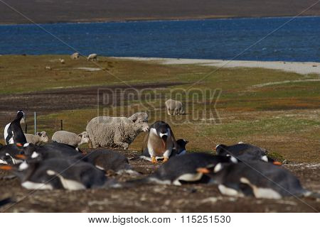 Sheep and Penguins