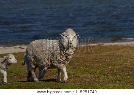 Sheep Farm on the Falkland Islands