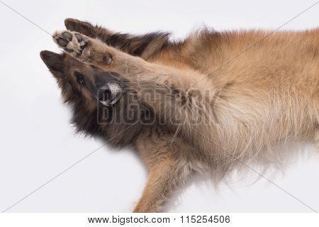 Dog, Belgian Shepherd Tervuren, Paw Up, Isolated