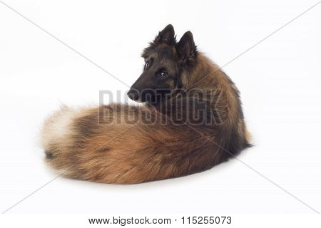 Dog, Belgian Shepherd Tervuren, Lying, Looking Back, Isolated