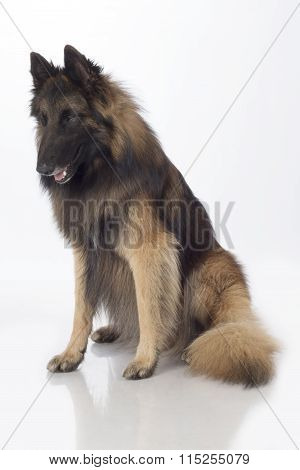 Dog, Belgian Shepherd Tervuren, Sitting, Isolated