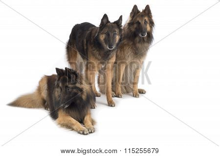 Three Dogs, Belgian Shepherd Tervuren, Isolated