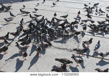 Pigeons Feed On The City Road