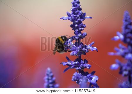 Closeup Of A Bumblebee In A Field Of Purple Salvia