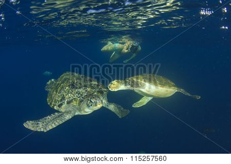 Young woman swims snorkeling with sea turtles