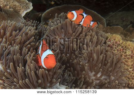 Pair Clownfish Anemonefish