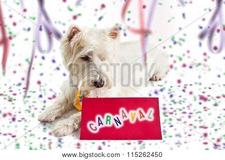 west highland white terrier on Carnival background looking at a message on red paper.
