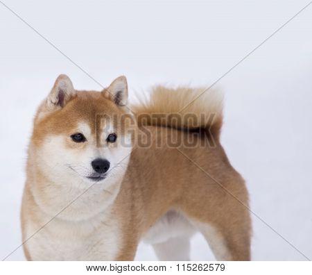 Shiba Inu Dog On White Background