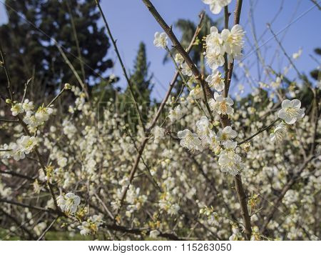 White Plum Flower Blossom In Taiwan