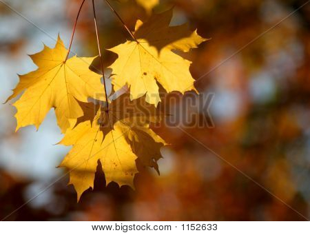 Group Of Three Autumn Leaves