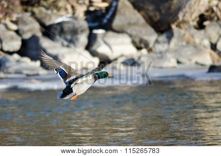 Mallard Duck Flying Over The Frozen Winter River