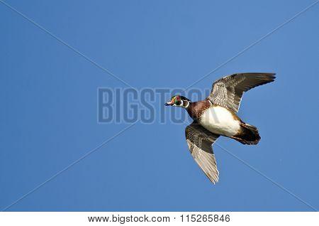 Male Wood Duck Flying In A Blue Sky