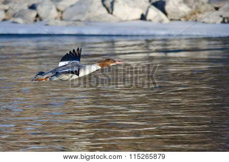 Common Merganser Flying Over The Frozen Winter River
