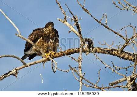 Young Bald Eagle Pooping From High In A Tree