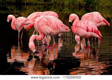Chilean Flamingo Reflections