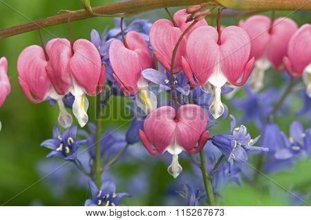Pink Bleeding Hearts and Blue Bells