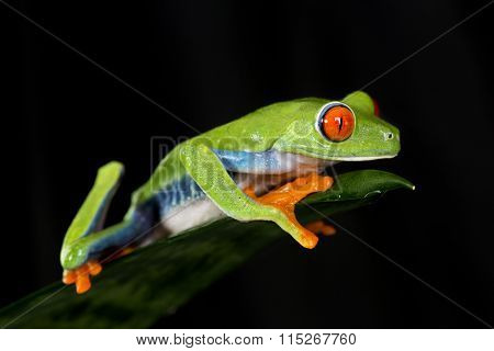 Red Eyed Tree Frog on Leaf