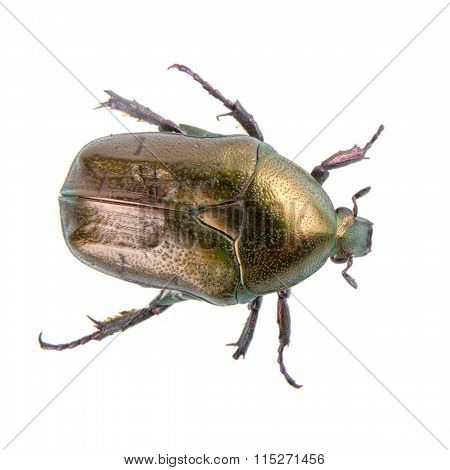 Big Bronze Bug On A White Background