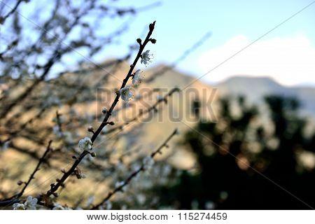 Plum blossom is flourishing in cold winter