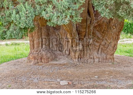 Old cedar tree trunk
