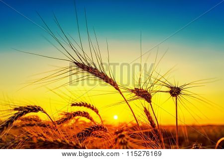 silhouette of harvest on field. golden and blue color in sunset
