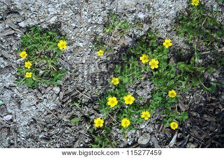 Slender Yellow Wood Sorrel