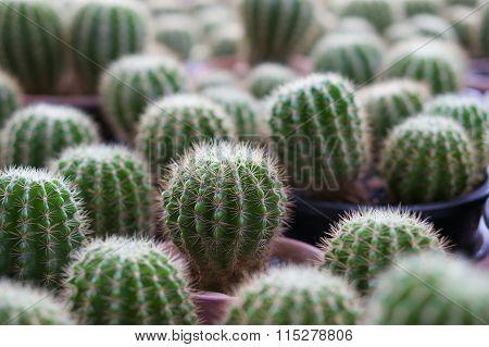 Domestic Cactus Trunk