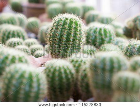 Echinocactus In Garden
