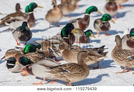 Large Flock Of Ducks
