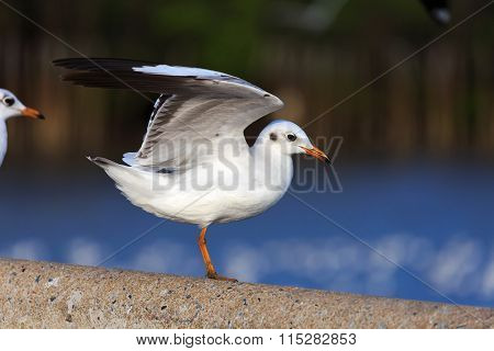 Seagull Ready To Take Off