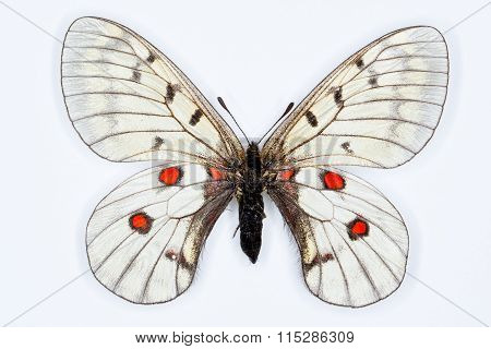 Butterfly, Parnassius Bremeri, Isolated On White