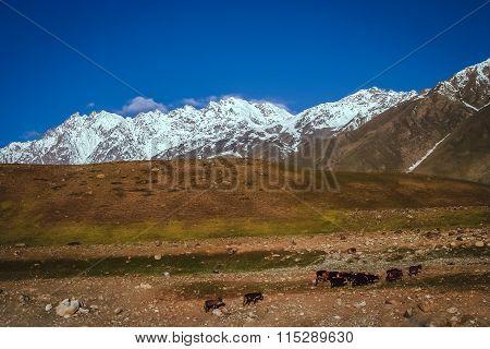 Mountain shepherds
