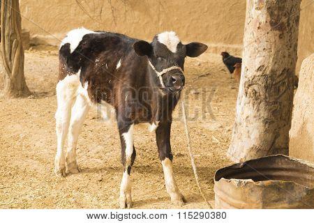 Black cow in Iraq